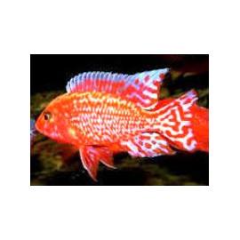 Aulonocara fire red dragon  -  5.5 cm