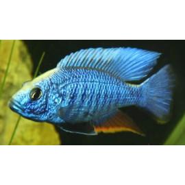 Aulonocara jacobfreibergi electric blue   5.5 - 6 cm