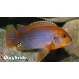 Iodotropheus sprengerae  3.5-4 cm