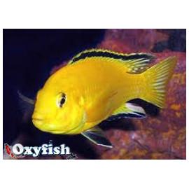 Labidochromis Caeruleus Gold Jaune Citron 4.00 cm