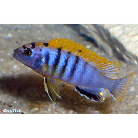 Labidochromis sp. hongi (m) 4.00 cm