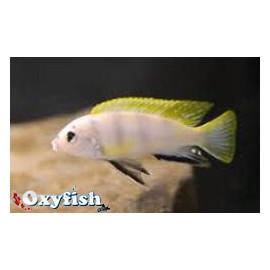 Labidochromis SP. Perlmutt  3-4 cm