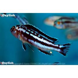 Melanochromis maingano  4.00 cm