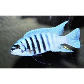 Metriaclima Sp Zebra Chilumba Maison Reef 4-4.5 cm
