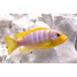 Pseudotropheus aurora (pengoldi)  4-5 cm