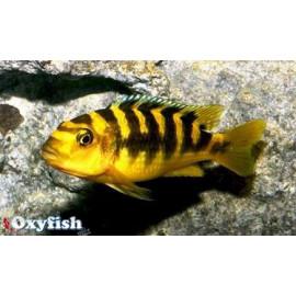 Pseudotropheus Crabro 3 - 4 cm