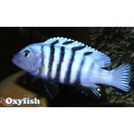 Pseudotropheus kingsizei  blue  3.5-4 cm