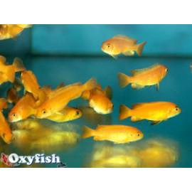 Pseudotropheus Saulosi Corail Rouge 3-4 cm