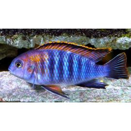 Pseudotropheus tropheops nageoires rouges   4-5 cm