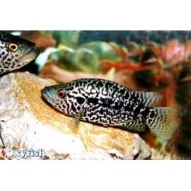 Parachromis Managuensis - Cichlasoma Managuensis  4.5-6 cm