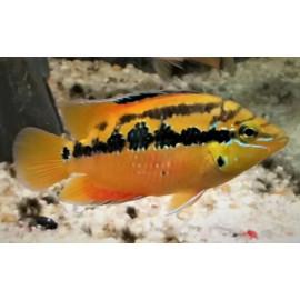 Cichlasoma salvini yellow belly (m) 4.00 cm