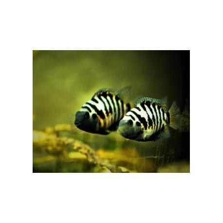 Crytoheros nigrofasciatum cichlide zebre 3.5-4 cm