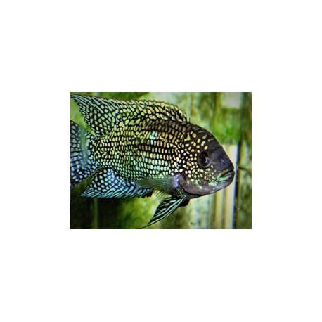 Rocio octofasciata Jack Dempsey 4-4.5 cm