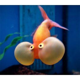 oranda bubble eye rouge  7.00 cm