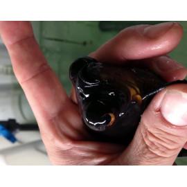 Oranda black moor voile de chine 5-7 cm