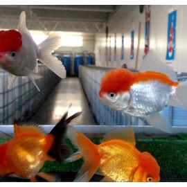 Tete de lion rouge et blanc oranda 5-7 cm