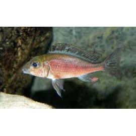 Callochromis  macrops red  4-5 cm