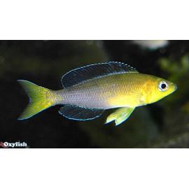 Cyprichromis leptosoma  jumbo kipili gold (tricolore)  7.00 cm
