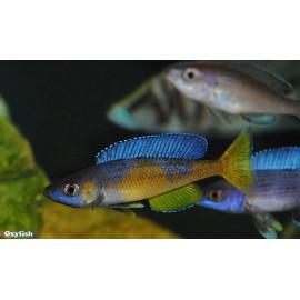 Cyprichromis leptosoma  jumbo kitumba  8 - 9  cm