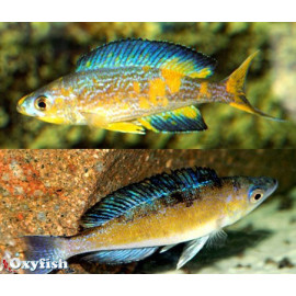 Cyprichromis microlepidotus mboko  f1 5.00 cm