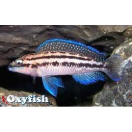 Julidochromis dickfeldi cichlide ligne bleue (m) 4.00 cm