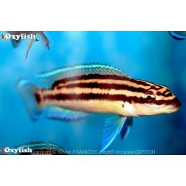 Julidochromis ornatus  3-4 cm