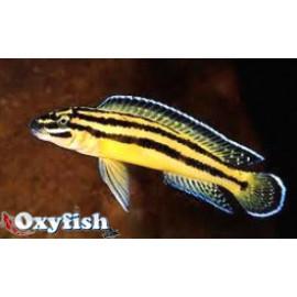 Julidochromis regani kipili   4-5 cm