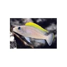 Lamprologus caudopunctatus red fin (m) 3-4 cm