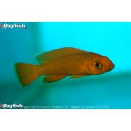 Lamprologus leleupi orange  3.5-4 cm