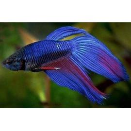 Betta Splendens Bleu Combattant mâle 6.00 cm
