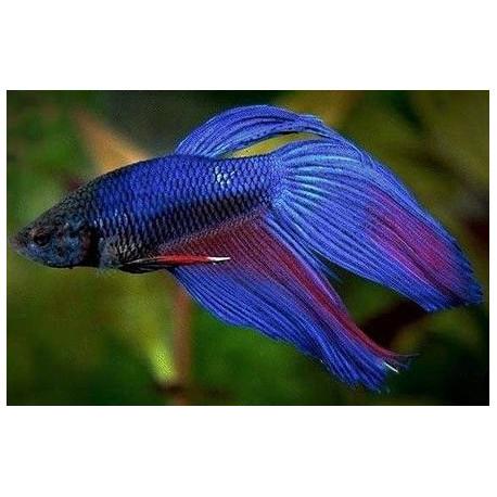 Débutante  Betta-splendens-bleu-combattant-male-xl-600-cm