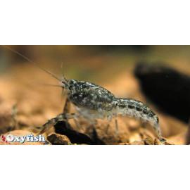 Cambarellus Puer Ecrevisse Naine des marais 1.5 cm