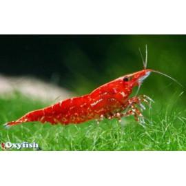 Néocaridina Denticulata Sinensis Red Cherry GRADE A  2.00 cm