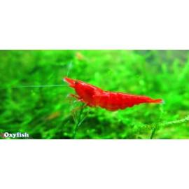 Neocaridina Heteropoda Bloody Mary 1.5-1.8 cm