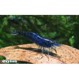 Neocaridina Heteropoda Blue Diamond 1.5-1.8 cm