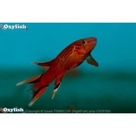 Aphyosemion Hjersseni 3-3.5 cm