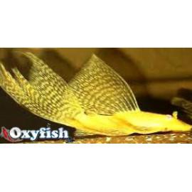 Ancistrus Gold Longfin- Voile 3.5 cm