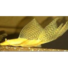 Ancistrus hoplogenys dore voile l182a   3 - 3.5 cm