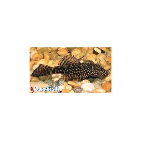 Ancistrus Hoplogenys Species L59A 3-3.5 cm