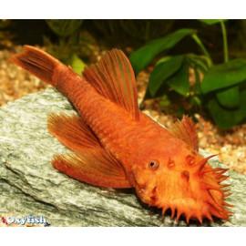 Ancistrus Sp. Super Rouge 2.5-3.0 cm