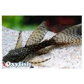 Ancistrus voile hoplogenys species long fin l59a (l) 4-4.5 cm