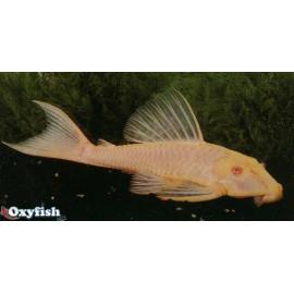 Hypostomus plecostomus 'pleco dore yeux rouges (l) 10 cm