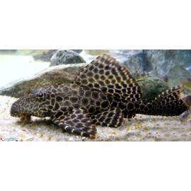 Hypostomus plecostomus  6-7 cm
