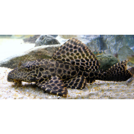 Hypostomus Plecostomus 5.5 cm