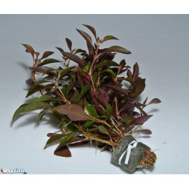 Alternanthera bettzickiana en pot
