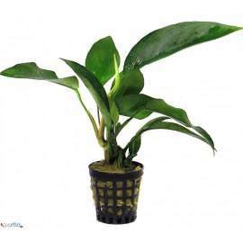 Anubias barteri  var. congoensis en pot