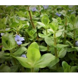 Bacopa caroliniana variegatus en pot