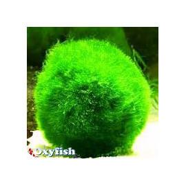 Cladophora boule anti nitrate  4-5  cm