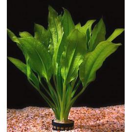 Echinodorus assortie en pot