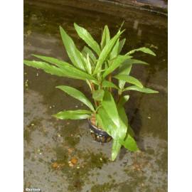 Hygrophila corymbosa angustifolia en pot
